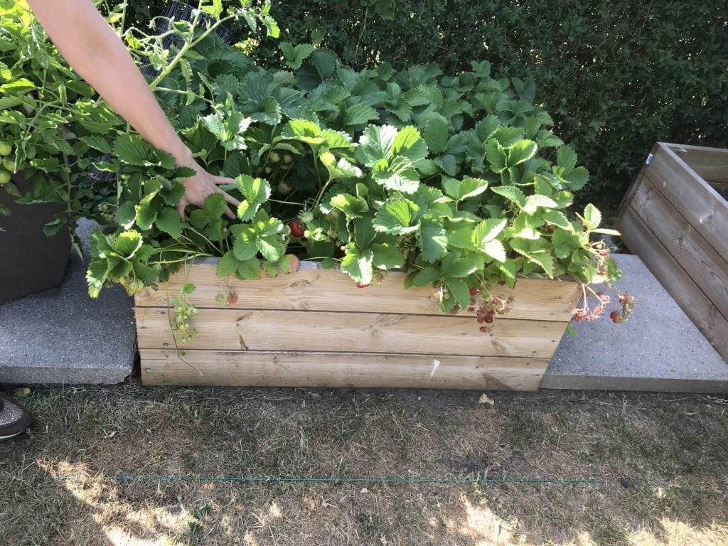 mancave.dk strawberries gardening
