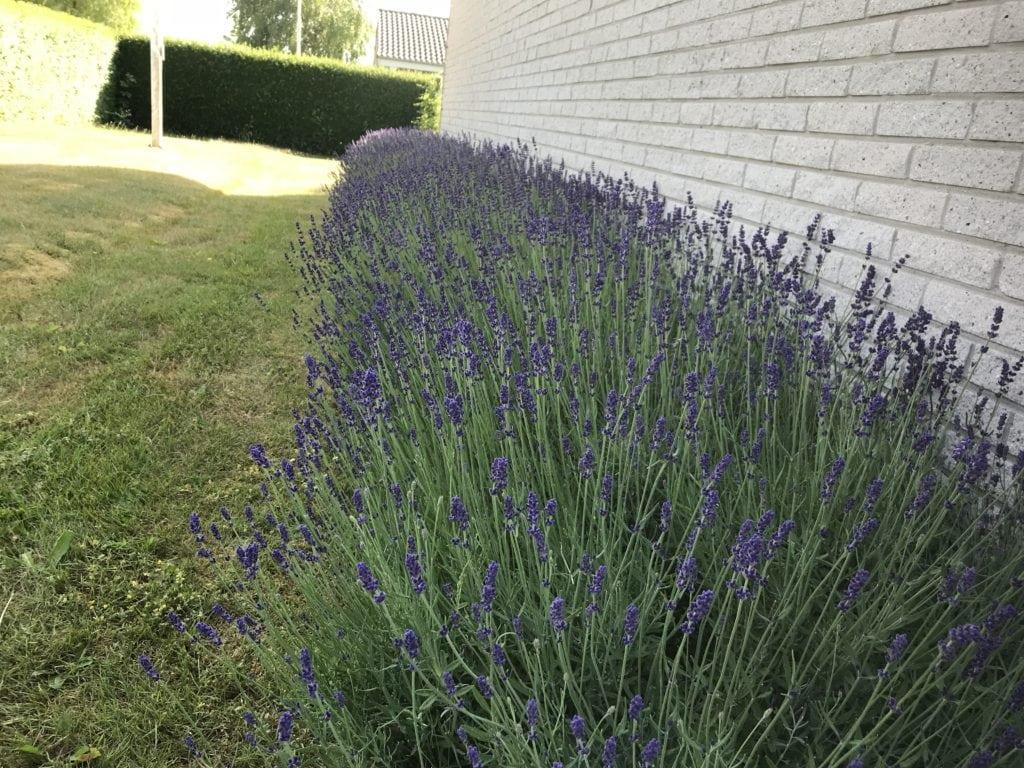 mancave.dk gardening lavender
